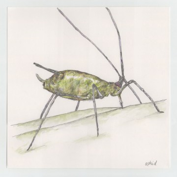 dave_ball_atoz_aphid1